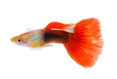 Guppy fish on white background. Guppy fish isolated on white background stock photography