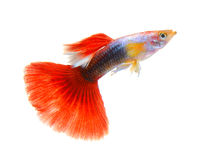 Guppy fish  on white background Royalty Free Stock Photography