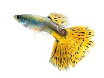 Guppy fish on white Background. Guppy fish Isolated on white Background royalty free stock image