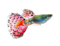 Guppy fish on white Background royalty free stock photo