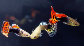 Guppy. Male and female of guppy in aquarium stock photos