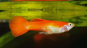Guppy stock images