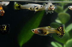 Guppy Multi Colored Fish Royalty Free Stock Photos