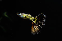 Guppy Multi Colored Fish Royalty Free Stock Photography