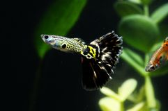 Guppy Multi Colored Fish. In a Tropical Acquarium royalty free stock image