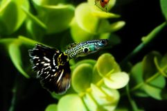 Guppy Multi Colored Fish. In a Tropical Acquarium royalty free stock photography