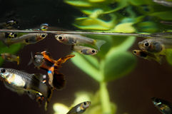 Guppy Multi Colored Fish Stock Images