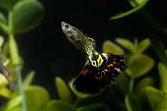 Guppy Multi Colored Fish Royalty Free Stock Images