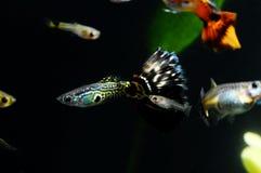 Guppy-multi farbige Fische Lizenzfreie Stockfotografie