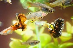 Guppy-multi farbige Fische Lizenzfreies Stockfoto