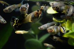 Guppy-multi farbige Fische Stockbilder