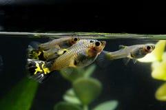 Guppy-multi farbige Fische Lizenzfreie Stockbilder