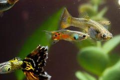 Guppy-multi farbige Fische Lizenzfreie Stockfotos