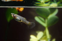 Guppy-multi farbige Fische Stockfotos