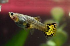 Guppy-multi farbige Fische Stockbild