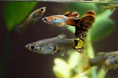 Guppy-multi farbige Fische Stockfoto