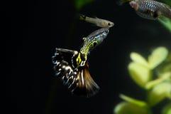 Guppy-multi farbige Fische Lizenzfreies Stockbild