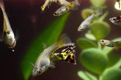 Guppy-multi farbige Fische Stockfotografie