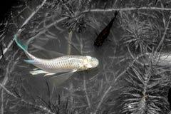 guppy Natación de los pescados del reticulata de Poecilia en canales naturales negro imagenes de archivo