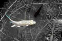 guppy Nuoto del pesce di poecilia reticulata in canali naturali nero immagini stock