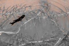 guppy Nuoto del pesce di poecilia reticulata in canali naturali nero fotografia stock libera da diritti