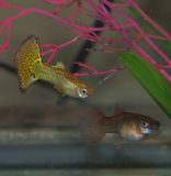 Guppy Pair. Pair of fancy aquarium guppies male and female Royalty Free Stock Image