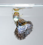 Guppy pet fish swimming. On grey screen stock images