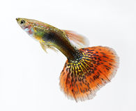 Guppy pet fish swimming Stock Photography