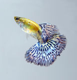 Guppy pet fish swimming. On grey screen royalty free stock image