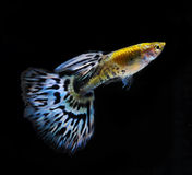 Guppy pet fish swimming isolated. On black royalty free stock photography