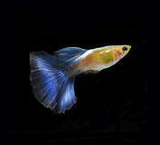 Guppy pet fish swimming isolated. On black royalty free stock image