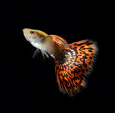 Guppy pet fish swimming isolated. On black stock photography