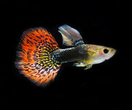 Guppy pet fish swimming isolated Stock Image