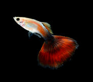 Guppy pet fish swimming isolated. On black background stock photography
