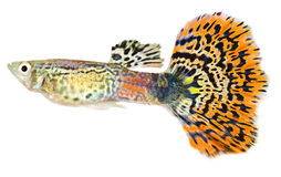 Guppy (Poecilia reticulata). Guppy isolated against white background stock photography
