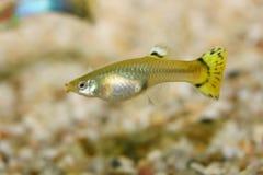Guppy (Poecilia-reticulata) Lizenzfreie Stockfotografie