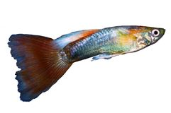 Fancy Male Guppy. The guppy Poecilia reticulata, also known as millionfish and rainbow fish, is one of the world`s most widely distributed tropical fish, and one stock images