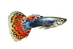 Guppy Poecilia reticulata colorful rainbow tropical aquarium fish stock photography