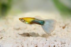 Guppy Poecilia reticulata colorful rainbow tropical aquarium fish. Fish royalty free stock image