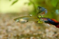 Guppy (Poecilia reticulata). A Female and Male Guppy (Poecilia reticulata Stock Images