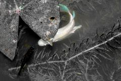 Guppy.Poecilia reticulata fish swimming in natural canals.Black. And white color.Color main focus royalty free stock photos