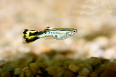 Guppy (Poecilia reticulata) Royalty Free Stock Image