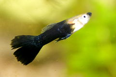 Guppy (Poecilia reticulata) Royalty Free Stock Photos