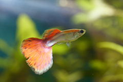 Guppy (Poecilia reticulata) Royalty Free Stock Images