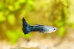 Guppy (Poecilia reticulata). A male guppy (Poecilia reticulata), a popular freshwater aquarium fish royalty free stock image