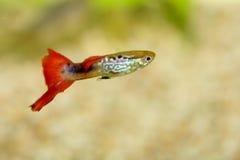 Guppy   (Poecilia reticulata) Royalty Free Stock Image