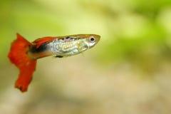 Guppy   (Poecilia reticulata) Stock Images
