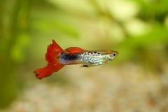Guppy   (Poecilia reticulata) Royalty Free Stock Photo