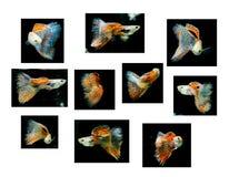 Guppy rojo que nada, animal doméstico tropical de los pescados Fotos de archivo