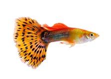Guppyfische auf weißem Hintergrund stockbilder